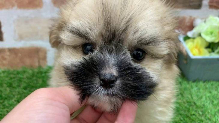 ペットショップ犬の家京都精華店「ハーフ犬」「問い合わせ番号102292」