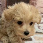 ペットショップ 犬の家 三木店 「ハーフ犬(マルプー)」「102304」