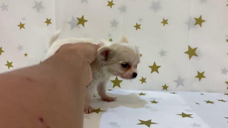ペットショップ 犬の家 富士店 「チワワ(ロング)」「102358」