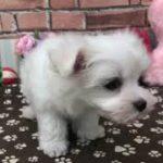 ペットショップ 犬の家 稲毛店 「マルチーズ」「102568」