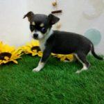 ペットショップ犬の家倉敷中庄店「チワワ(スムース)」「102609」