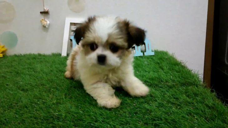 ペットショップ犬の家倉敷中庄店「ハーフ犬」「102613」