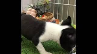 ペットショップ 犬の家 倉敷店 「ボストンテリア」「102614」