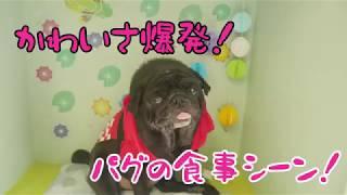【パグ】パクパク美味しくいただきます🤤[兵庫ペット医療センター トリミング 尼崎 犬動画 ]Happy dog glooming