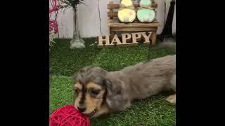 ペットショップ 犬の家 倉敷店 「Mダックス」「102520」