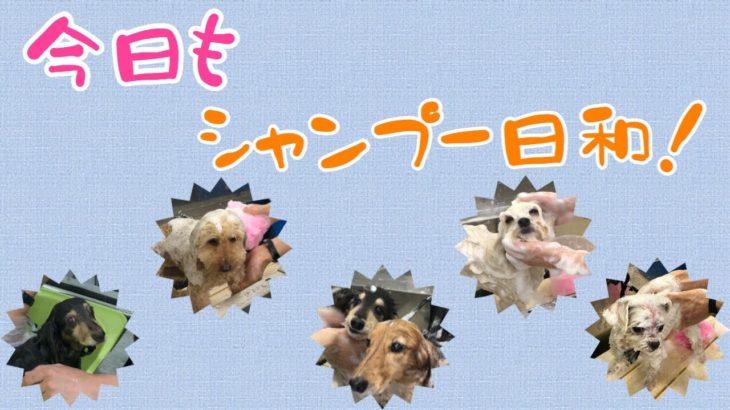 Today Enjoy  Shampoo[兵庫ペット医療センター トリミング 尼崎 犬動画 ]Happy dog glooming