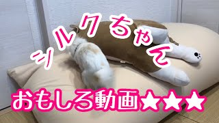 🔵🔴【チワワ シルク】シルクちゃんおもしろ動画【ぬいぐるみ犬】【犬おもしろ動画】【ペットおもしろ動画】