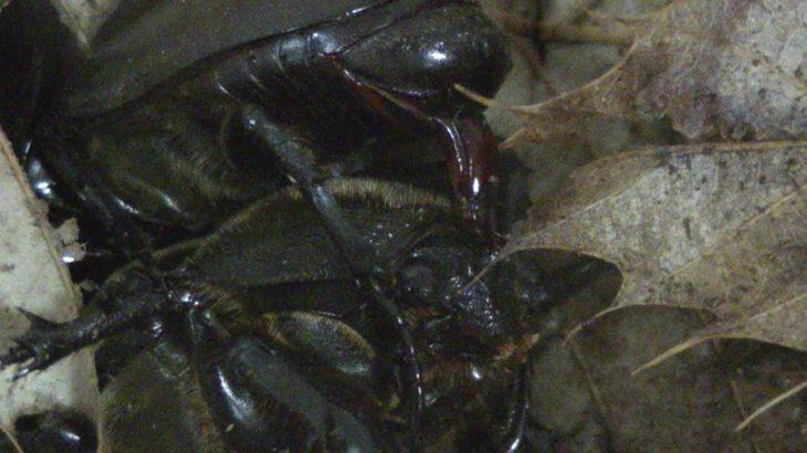 【生態観察】カブトムシ貴重衝撃映像ハプニング発生なんじゃこれミステリー遂にズームインナイト今年は約20匹を衣装ケースで飼う高タンパク質プロゼリー恐るべし繁殖率チハルチャンネル緒方千治