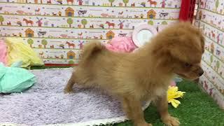 ペットショップ 犬の家 神戸店 「ハーフ犬(ポメラニアン×ミニチュアダックスフンド)」「101255」