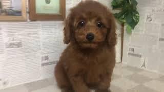 ペットショップ 犬の家 加古川店「トイプードル」「102509」