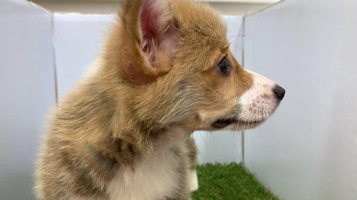 ペットショップ犬の家 小田原店「ウェルシュ・コーギー・ペンブローク」「102702」