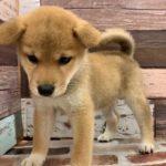 ペットショップ 犬の家 三木店 「柴犬」「102717」