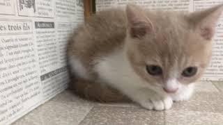 ペットショップ 犬の家 加古川店「ブリティッシュ」「102726」