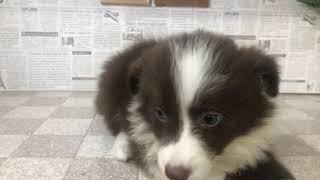 ペットショップ 犬の家 加古川店「ボーダー・コリー」「102727」
