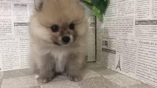 ペットショップ 犬の家 加古川店「ポメラニアン」「102729」