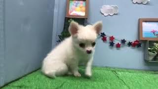 ペットショップ犬の家刈谷店【チワワ】【102768】