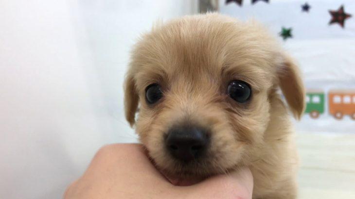 ペットショップ犬の家&猫の里マークイズ静岡店 チワックス 102859