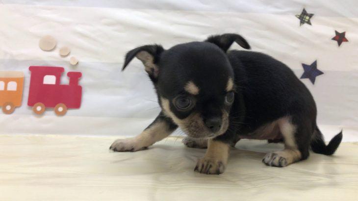 ペットショップ犬の家&猫の里マークイズ静岡店 チワワ 102875