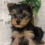 ペットショップ 犬の家 加古川店「ヨーキー」「102892」