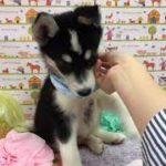 ペットショップ 犬の家 神戸店 「ハーフ犬(ボーダー・コリー×シベリアンハスキー)」「102921」