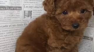 ペットショップ 犬の家 加古川店「トイ・プードル」「102942」