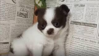 ペットショップ 犬の家 加古川店「ハーフ」「102949」