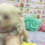 ペットショップ 犬の家 神戸店 「ハーフ犬(マルチーズ×トイプードル)」「102959」