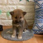 ペットショップ 犬の家近江八幡店 「柴」「問い合わせ番号102963」