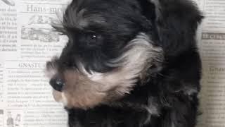 ペットショップ 犬の家 加古川店「ミニチュア・シュナウザー」「102964」