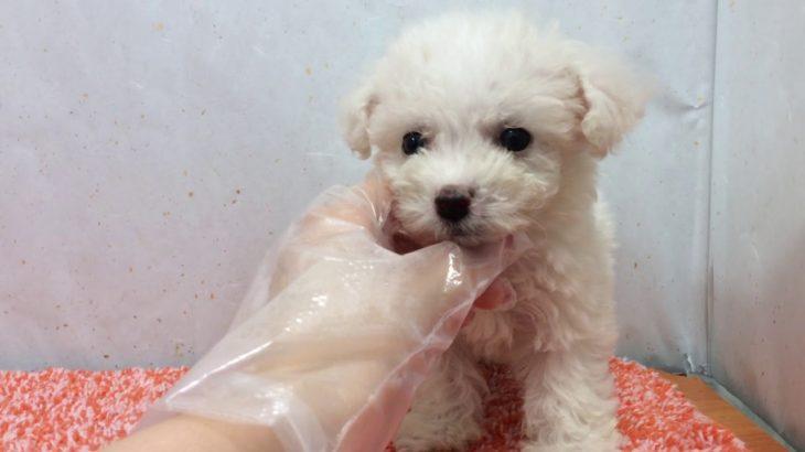 ペットショップ 犬の家 港北店 「ビションフリーゼ」「1030493」