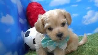 ハーフ犬【103177】ペットショップ犬の家尼崎店