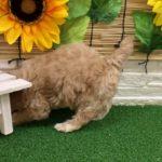 ペットショップ 犬の家 近江八幡店 「チワプー」「103201」