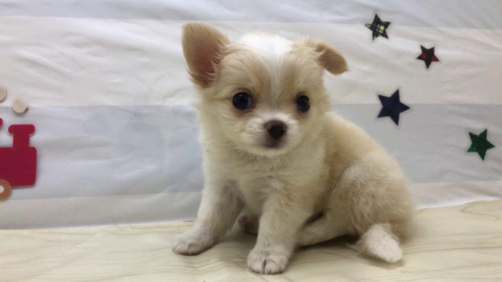 ペットショップ犬の家&猫の里 103352  チワワ