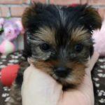 ペットショップ 犬の家 稲毛店 「ヨークシャーテリア♂」「103362」