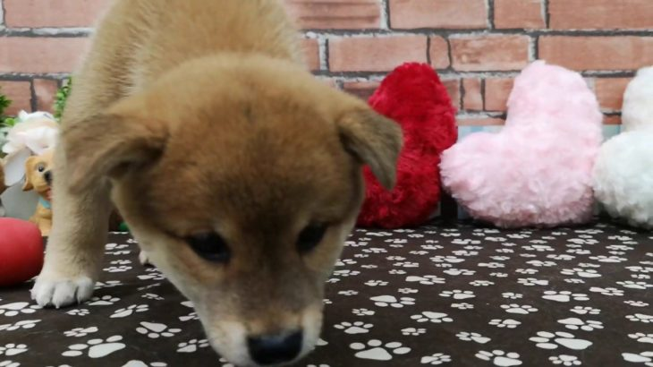 ペットショップ 犬の家稲毛店 「柴♂」「103363」
