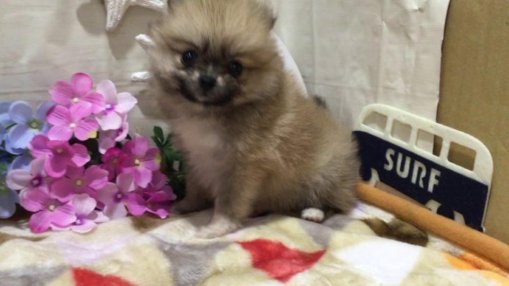 ペットショップ 犬の家 店 「ポメラニアン♀」「103370」