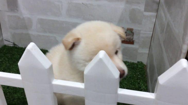 ペットショップ犬の家&猫の里カインズ梓川店「柴」「お問い合わせ番号103379」