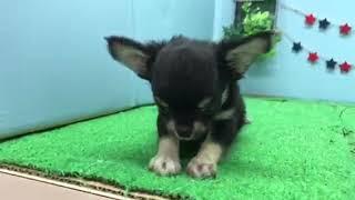 ペットショップ犬の家【刈谷店】【チワワ】【103455】