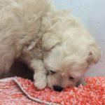 ペットショップ 犬の家 港北店 「ハーフ犬(ポメラニアン×トイ・プードル)」「103660」