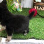 ペットショップ犬の家倉敷店 103767 チワワ♂