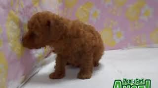 1907045 【ペットショップ エンゼル】お薦めの子犬・子猫
