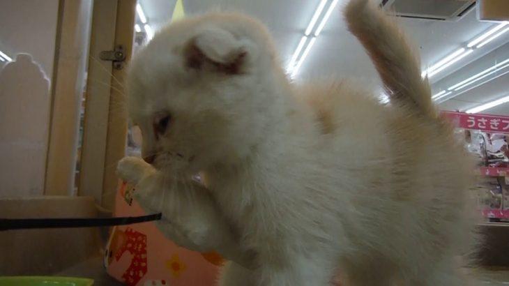 ホームセンターコーナンペットプラザ豊中島江店 スコティッシュ 女の子 2019.4.20生