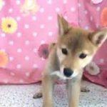 ペットショップCoo&RIKU No429258 柴犬