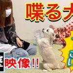 【衝撃映像】喋る犬のしつけ/賢い犬/芸/Dog tricks【チワワ×トイプードル】