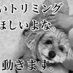 トイプードルのマロンちゃん。楽しいトリミング![兵庫ペット医療センター トリミング 尼崎 犬動画 ]Happy dog glooming