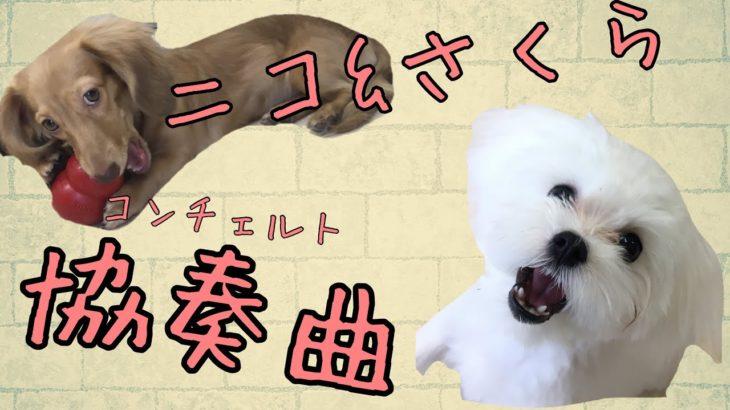 仔犬が織りなす奇跡のハーモニー【ミニチュアダックス・マルチーズ】[兵庫ペット医療センター トリミング 尼崎 犬動画 ]Happy dog glooming