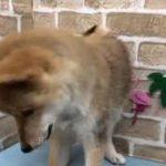 【No.101116】柴♂ペットショップ犬の家猫の里碧南店