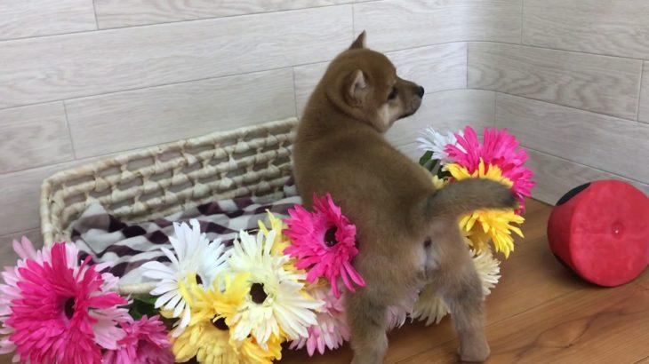ペットショップ犬の家 豊川インター店 No.103340 豆柴♂
