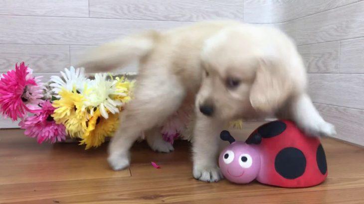 ペットショップ犬の家 豊川インター店 No.103439 ゴールデンレトリーバー♀