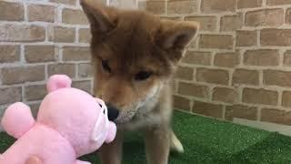 ペットショップcoo&riku No.425149 柴犬